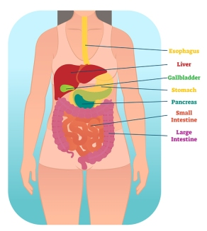 Graphic of a human digestive system.